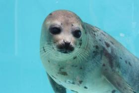 A rescued seal pup at Mystic Aquarium.