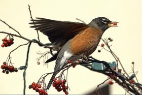 Connecticut's state bird: the American robin.