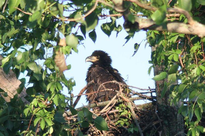 A bald eagle chick in its nest.