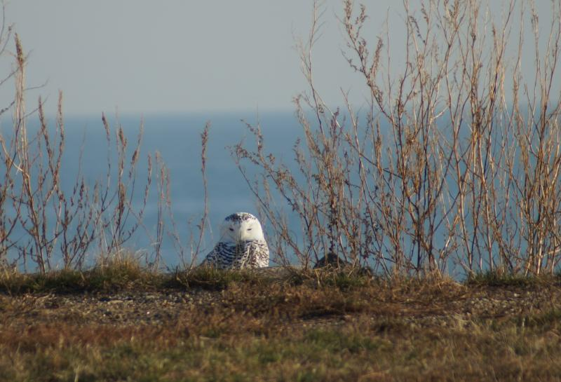 A Snowy Owl spotted at Stratford Point.