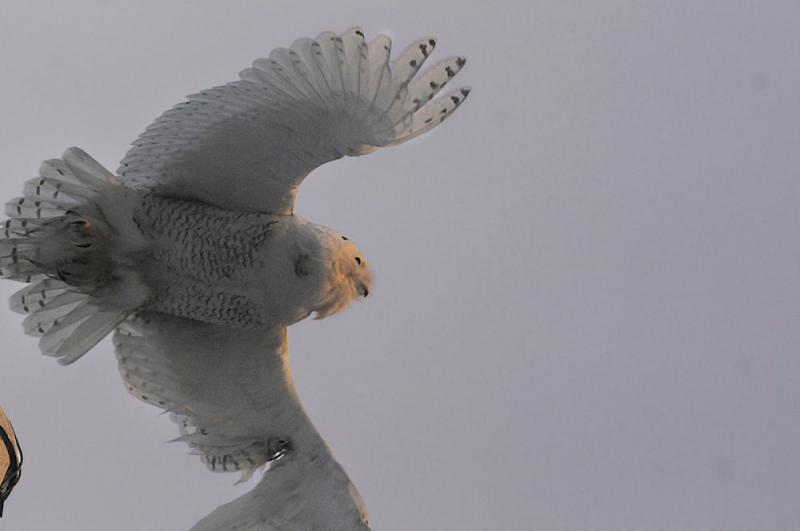 A Snowy Owl takes flight over New Haven harbor. The journey from the tundra has not been easy on this young male, as evidenced by the recovering wound on his left wing.