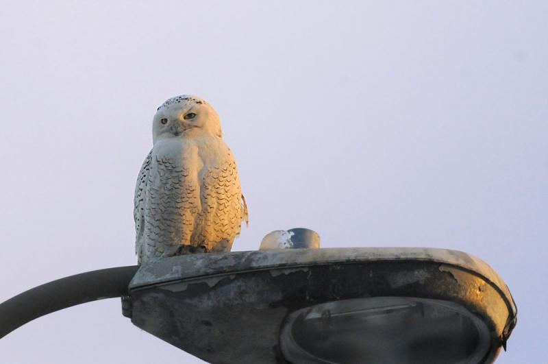 This young male Snowy Owl sits atop an ice-crusted light post on Long Wharf in New Haven on December 15, 2013.