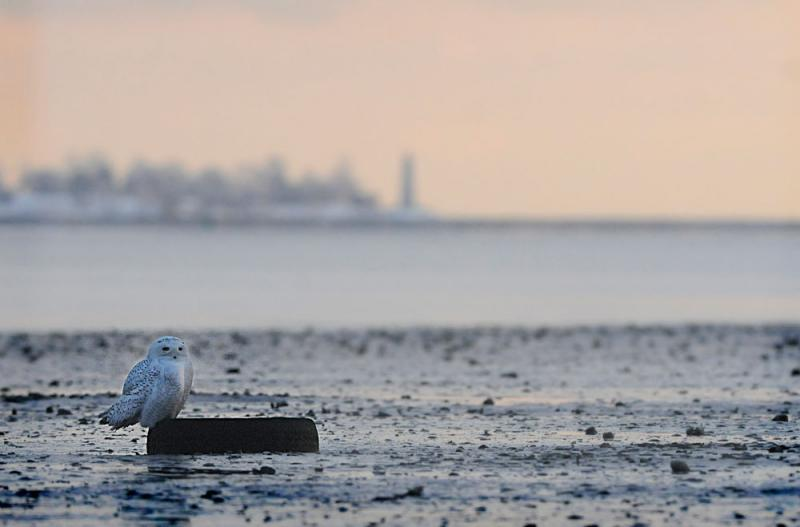 Perched upon a car tire in a clam flat at Long Wharf in New Haven on December 15, 2013, a young male Snowy Owl scans its surroundings. In the background is Five Mile Point light in New Haven harbor.