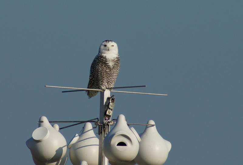 A Snowy Owl on the gourds at Stratford Point.