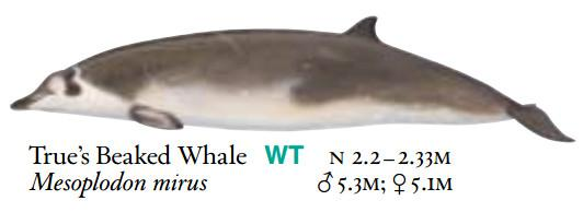 True's beaked whales are known mainly from stranded specimens, accoridng to the NOAA Fisheries Service.