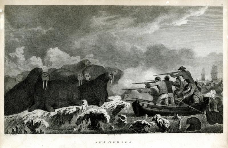 "Sea Horses.  Engraving after a drawing by John Webber, published 1783.  In his journal, John Ledyard described hunting ""sea-horses"" (walruses) in the Arctic Ocean."