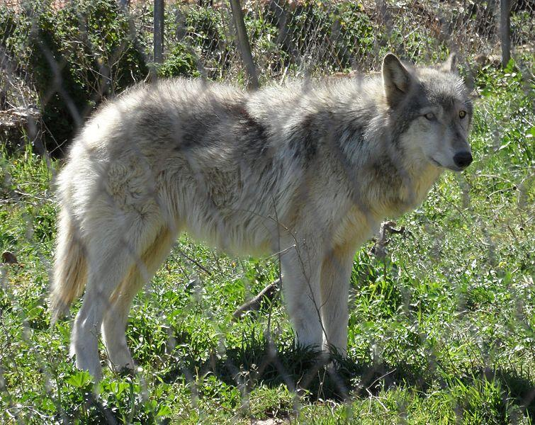 An Arctic wolf/Alaskan malamute hybrid from Lobo Park, Antequera.