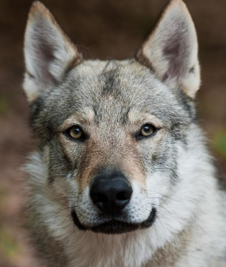 A Czechoslovakian wolfdog, a relatively new breed of dog from Eastern Europe. It is a cross between a German Shepherd and a Eurasian wolf.