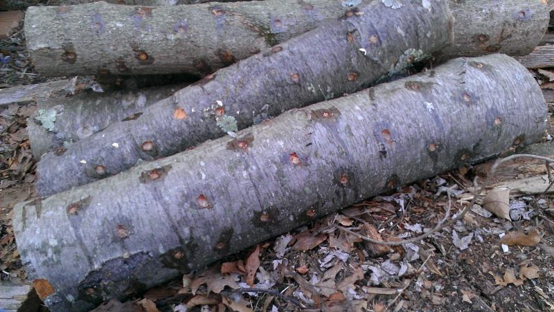 Logs drilled, plugged with mushroom spawn, and coated with wax.