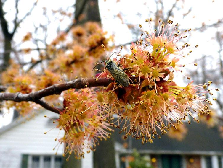 A red maple in bloom.