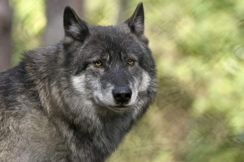 "DNA tests can't determine how much ""wolf"" and how much ""dog"" is in a hybrid."