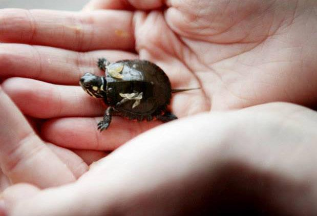 Painted turtle hatchlings visit WNPR.