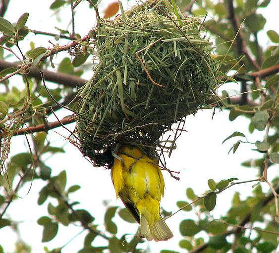 The African masked weaver bird nest has energy conservation lessons for homeowners, captured in a student-made short documentary.