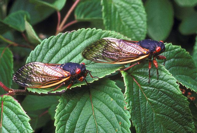 In 2013, Connecticut played host to a patchy emergence of 17-year periodical cicadas. The bugs are now holed up underground as nymphs.