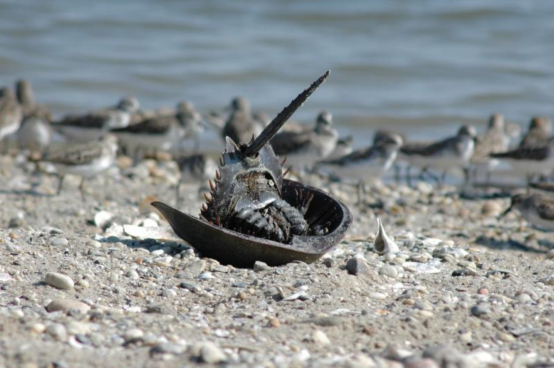 Every May and June, horseshoe crabs wash up on eastern shorelines to spawn.