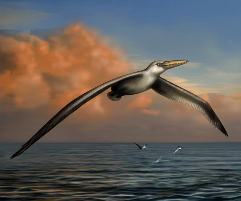 Pelagornis sandersi was an ancient marine bird with a wingspan nearly twice as large as anything living today.