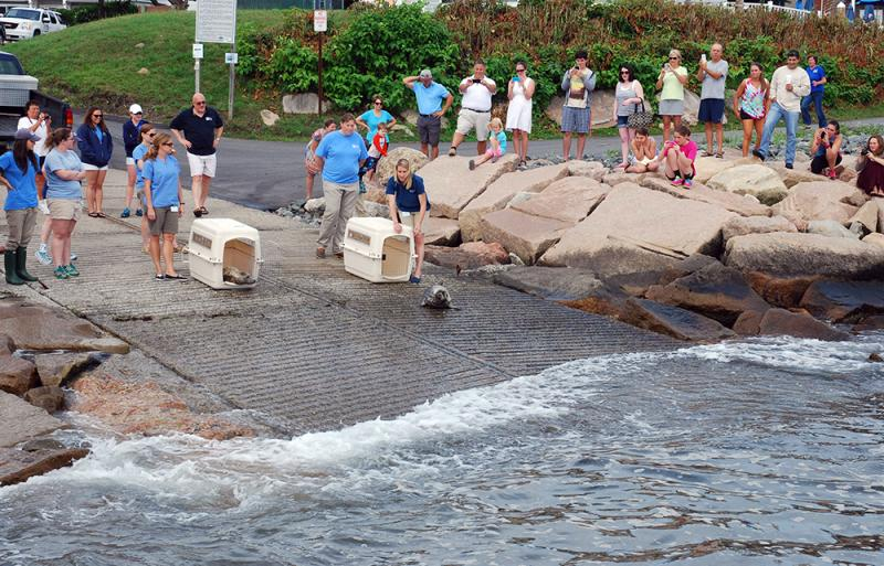 A crowd of onlookers watched as the seals were released.