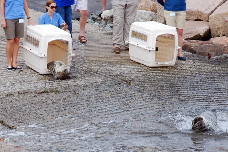 The two seals were released in Rhode Island.