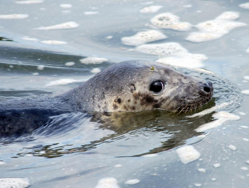 A Gray Seal being released in Rhode Island on Thursday.
