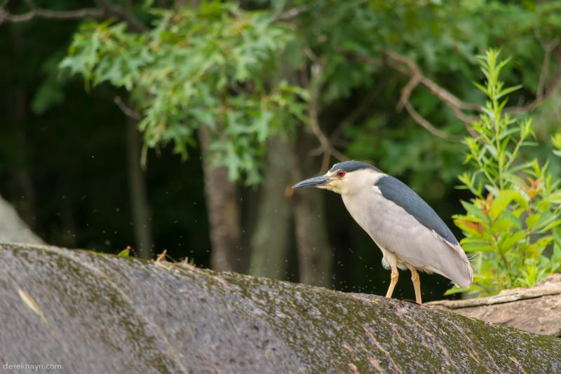 "Derek Hayn took this photo of a black-crowned night heron at Centerbrook Architects, where he keeps his camera handy. ""We often joke about setting up a 24 hour Dam Cam to capture the abundant wildlife,"" he said."
