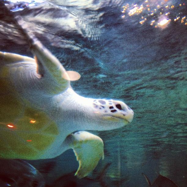 Sea turtle at Norwalk Aquarium.