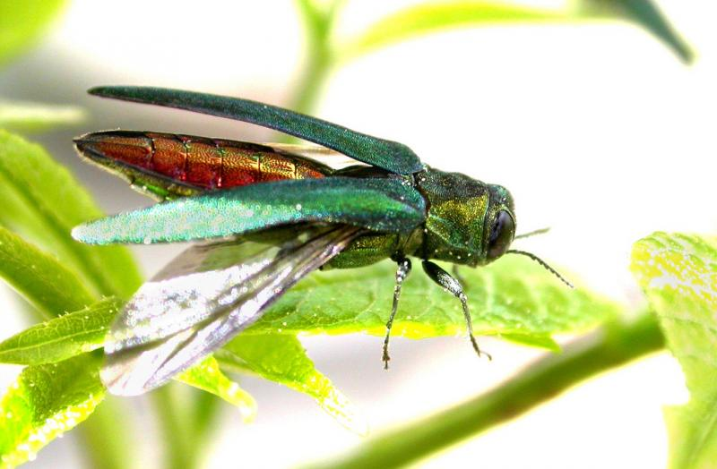 This is the time of year when you might see adult emerald ash borer beetles.