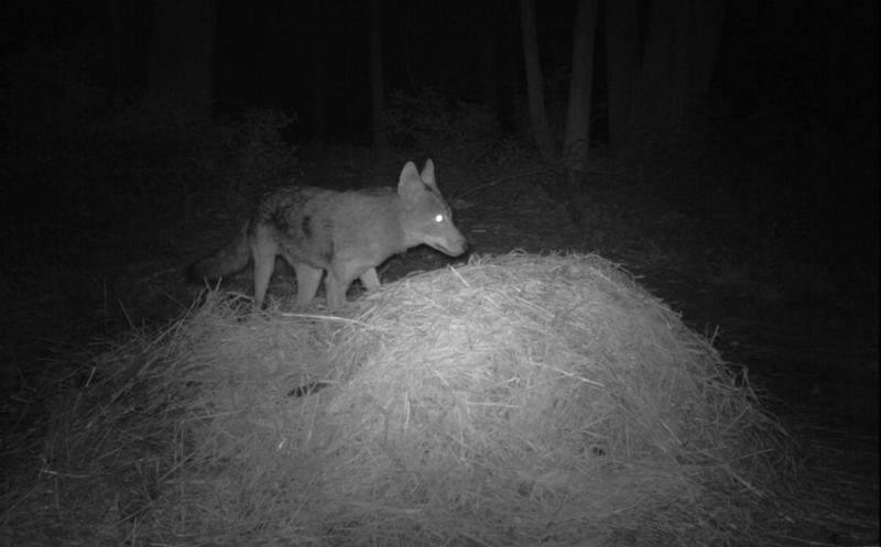 A coyote checks out a compost pile in this infrared shot from Smedley's remote camera.