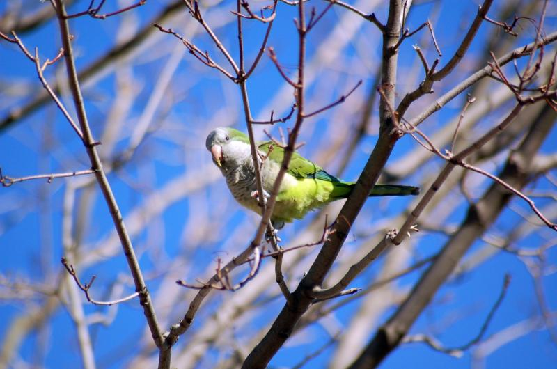 "Monk Parakeets get their name from the distinctive cowl over their heads. They're also known as ""Quaker Parrots."""