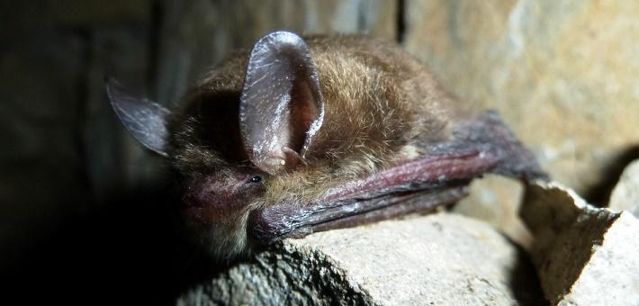The Northern long-eared bat is one of several threatened species in the state that has not yet qualified for federal EDA protection.