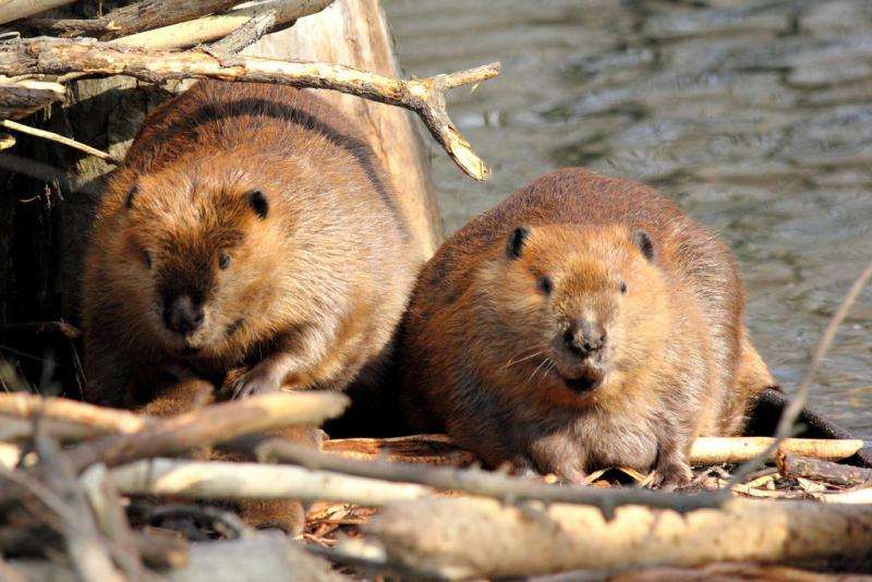 Beaver are one of few animals capable of engineering the ecosystem