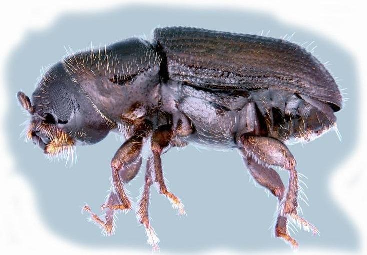 A southern pine beetle.