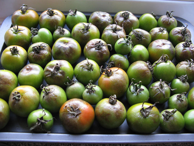 A batch of tomatoes lost to the dreaded late blight