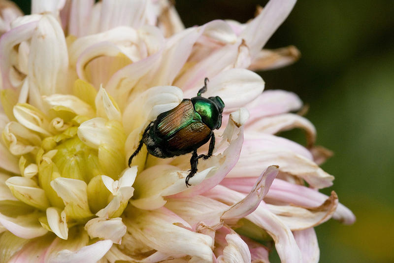 Although attractive in its emerald iridescence, the Japanese Beetle can wreck havoc on fruits, vegetables, and roses.