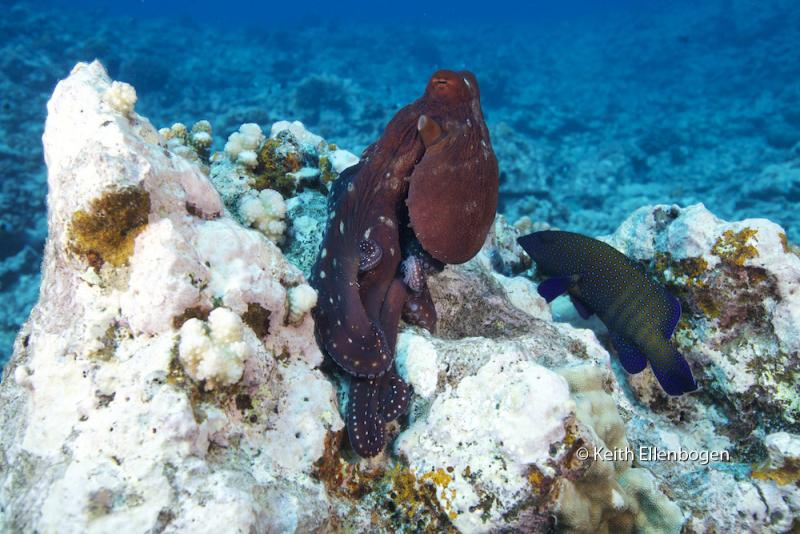 A wild Octopus cyanea in Moorea stands tall, and showing its curiosity as it looks at a grouper
