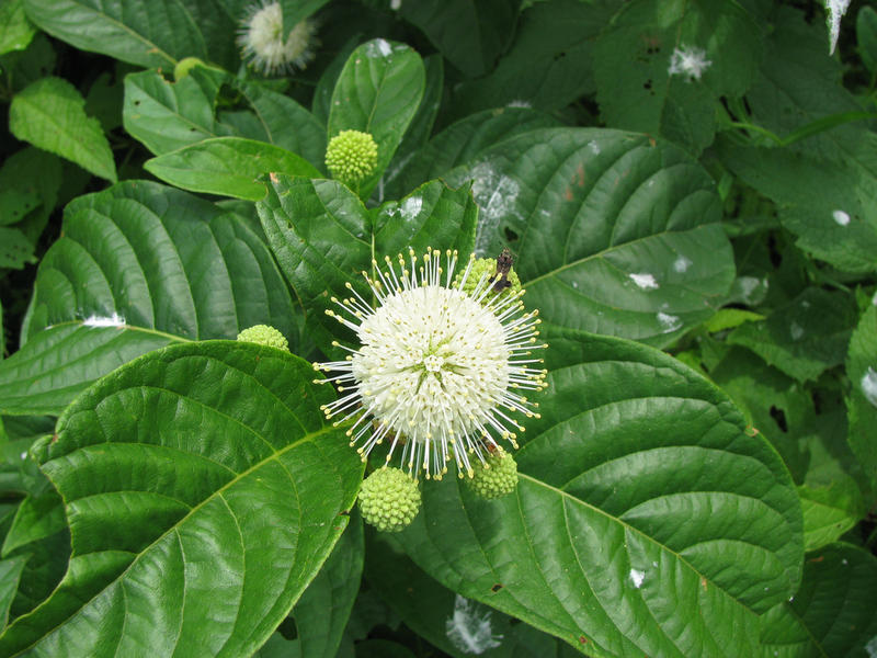 Buttonbush, native to Connecticut, grew well in a test at UConn.