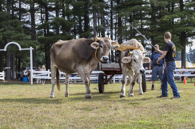 Eryk Thurber guides his oxen team during the Four Town Fair working steer competition.