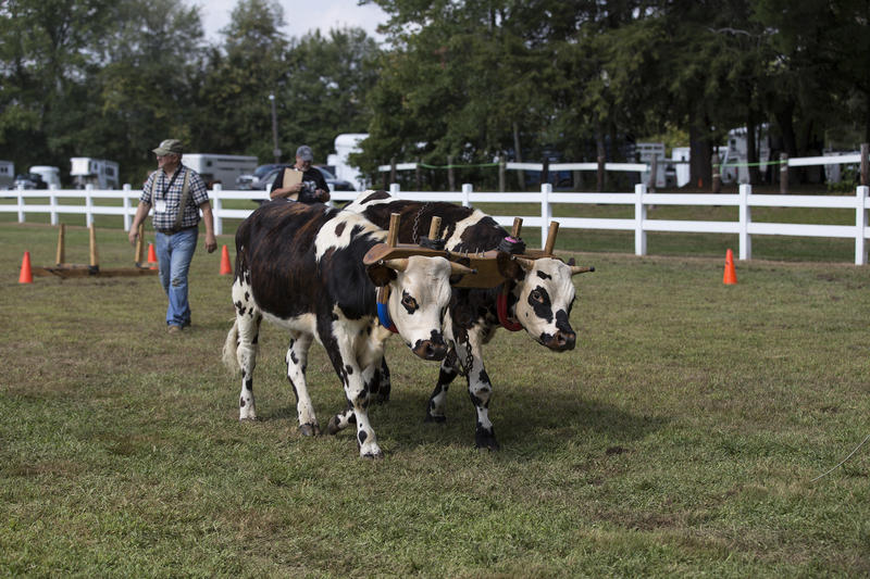 For several hours, competitors guided their oxen teams through different obstacles.