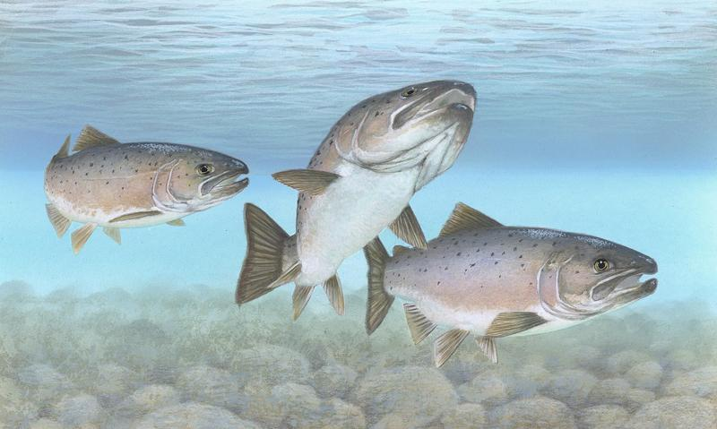 Adult atlantic salmon make a 6,000 mile round trip out to the ocean and back to Connecticut's freshwater rivers.