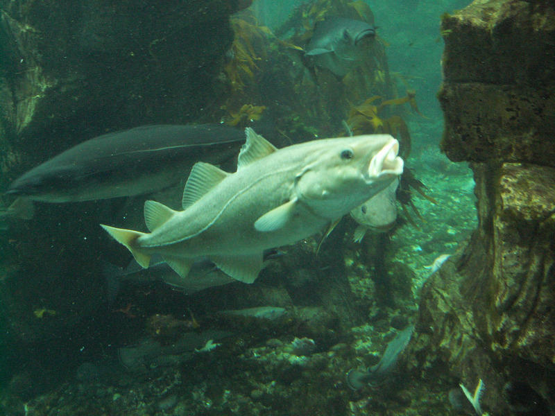 New umass dartmouth video system can help count imperiled for Atlantic cod fish
