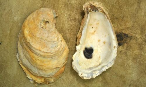 Eastern oysters, pictured above, were being harvested illegally. The eastern oyster in Connecticut's official state shellfish.
