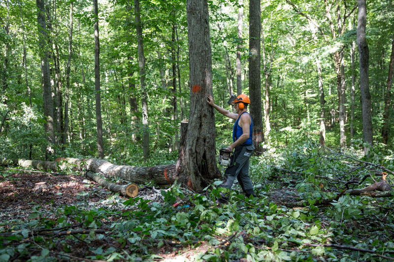 Gerald Bellows of Gibson Hill Forest Products observes a tree that he'll soon cut down.