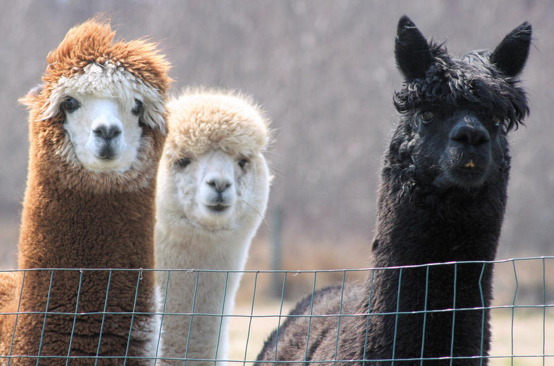 Locally-sourced fibers sheared from alpacas over the summer can be a great way to support local farms.