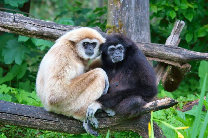 "A pair of lar gibbons. A new report warns of an ""impending extinction crisis"" for the majority of earth's primates."