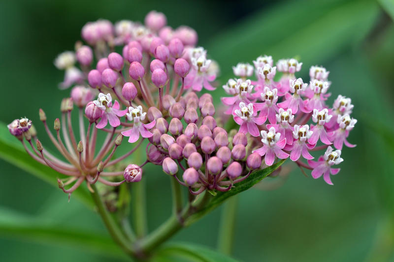 Swamp milkweed is a shrub native to Connecticut.