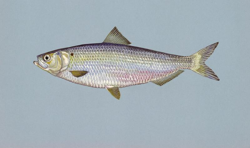 A blueback herring. While showing signs of inland recovery in some areas, blueback herring and alewife are still a major focus for biologists and conservationists.