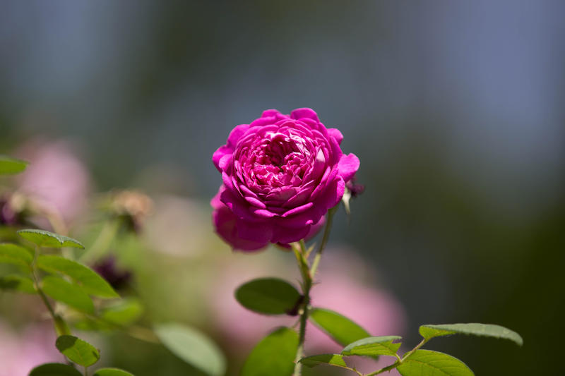 A rose in the Heritage Rose Garden in Hartford's Elizabeth Park.