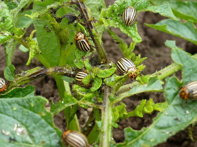 The potato beetle lays clusters of orange eggs on the undersides of leaves.