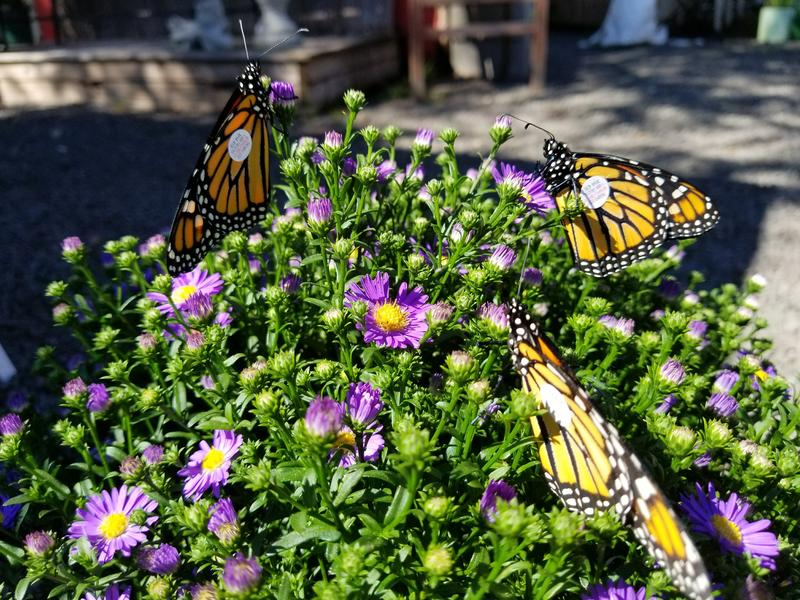 Monarch butterflies power-up on a plant at Natureworks in Northford, Conn., before beginning their migration south.