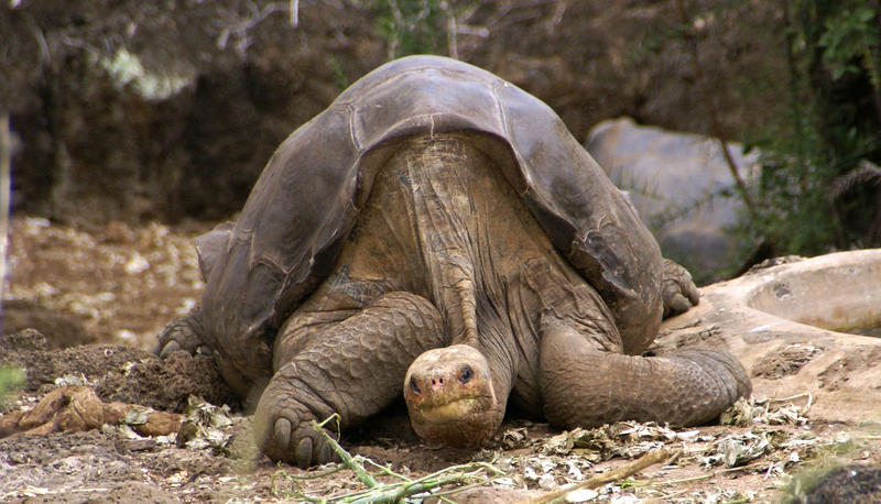 Giant tortoise populations have declined by about 90 percent, and some species have gone totally extinct. Lonesome George, an iconic tortoise who died in 2012, and is pictured above, was the last surviving member of his species.