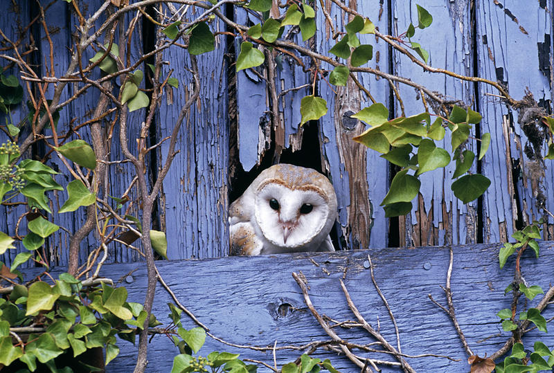 Barn Owl - Photos by David Tipling from Enigma of the Owl